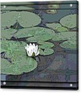 The Lily Bloom Acrylic Print