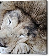 The Lion Sleeps Acrylic Print
