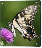 The Love Of Thistle Acrylic Print