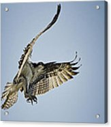 The Magnificent Osprey  Acrylic Print