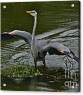 The Mating Dance Acrylic Print