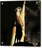 The Meerkats Perch Acrylic Print