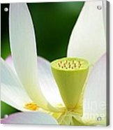 The Middle Of A Lotus Acrylic Print