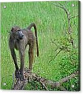 The Mighty Baboon Acrylic Print