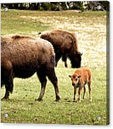 The Mighty Bison Acrylic Print