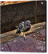 The Mighty Pigeon Acrylic Print