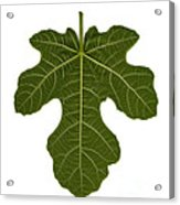 The Mission Fig Leaf Acrylic Print