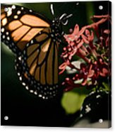 The Morning Monarch Acrylic Print