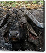 The Mud Bath Acrylic Print