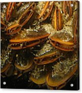 The Mussel Group Acrylic Print