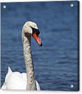 The Mute Swan Acrylic Print
