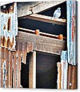 The Nervous Pigeon  Acrylic Print