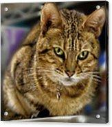 The Obligatory Cute Cat Photo Acrylic Print