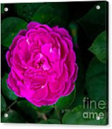 The Old Red Rose Acrylic Print