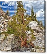 The Old Tree And The Cliff Acrylic Print