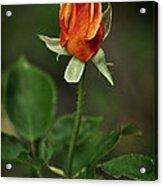 The Orange Rose Acrylic Print