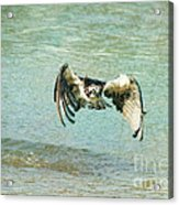 The Osprey Glare Acrylic Print