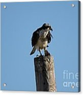 The Osprey's First Catch Collection Image IV Acrylic Print