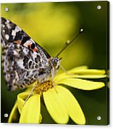 The Painted Lady And The Daisy  Acrylic Print