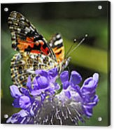 The Painted Lady Butterfly  Acrylic Print