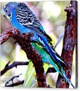 The Parakeet Acrylic Print