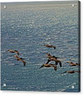 The Pelicans Hunting Acrylic Print