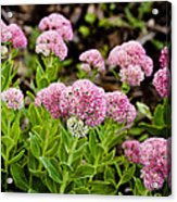 The Pink Cure Acrylic Print