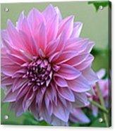 The Pink Dahlia-flower2 Acrylic Print