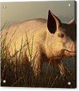 The Pink Pig Acrylic Print