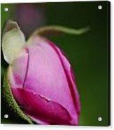 The Pink Rose Bud Acrylic Print