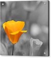 The Poppy Stands Alone Acrylic Print