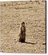 The Prairie Dog Acrylic Print