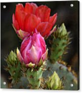 The Prickly Beauty  Acrylic Print