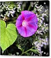 The Queen's Morning Glory Acrylic Print