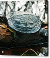 The Red Eared Slider Acrylic Print