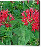 The Red Flowers Acrylic Print