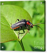 The Rednecked Bug- Close Up 2 Acrylic Print