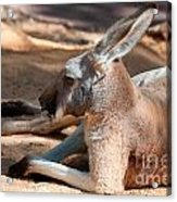The Resting Roo Acrylic Print