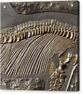 The Ribs And Spine Of Ichthyosaur Acrylic Print
