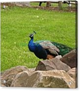 The Rocking Bird Acrylic Print