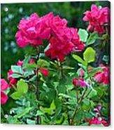 The Rose Garden Acrylic Print