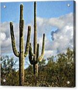 The Saguaros  Acrylic Print