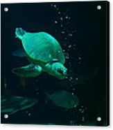 The Sea Turtle Dives Acrylic Print