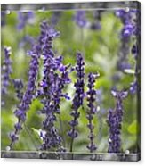 The Smell Of Lavender  Acrylic Print