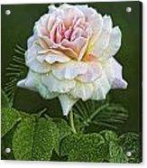 The Splendor Of The Rose Acrylic Print