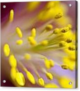 The Stamen Of A Flower Acrylic Print