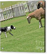 The Stare - Border Collie At Work Acrylic Print