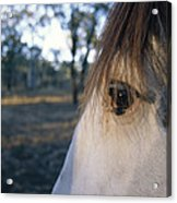 The Staring Eye Of A Clydesdale Horse Acrylic Print