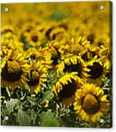 The Sunflower Patch II Acrylic Print by Lisa Moore