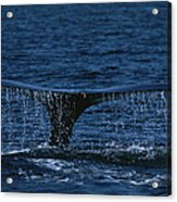 The Tail Flukes Of A Humpback Whale Acrylic Print